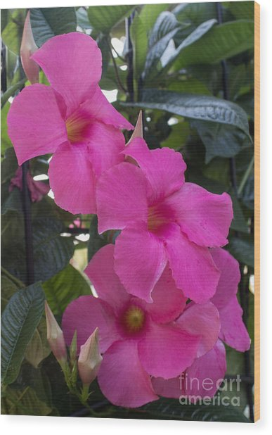 Mandevilla Beauty Wood Print