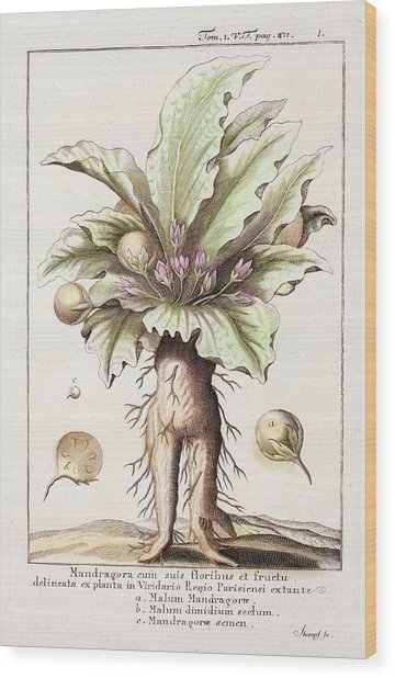 Mandrake Plant Wood Print by Paul D Stewart