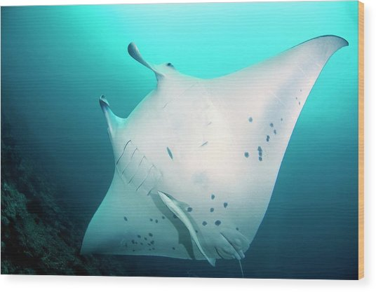 Manta Ray And Remoras Wood Print by Scubazoo/science Photo Library