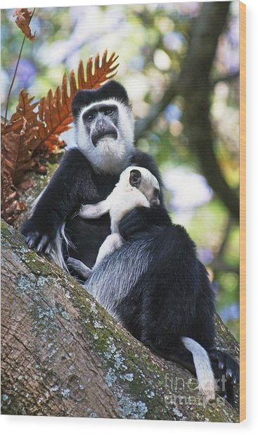 Mantled Guereza Mother And Baby Wood Print by Brian Gadsby
