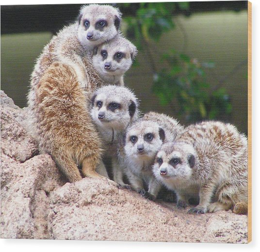 Many Meerkat Sentries Wood Print
