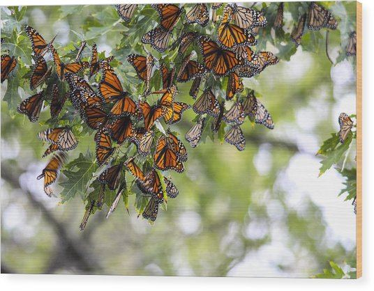Many Migrant Monarchs Wood Print