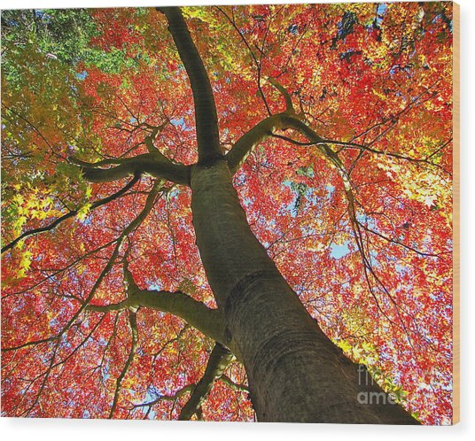 Maple In Autumn Glory Wood Print