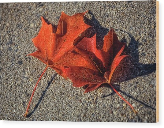 Maple Leaves (acer Sp.) Wood Print