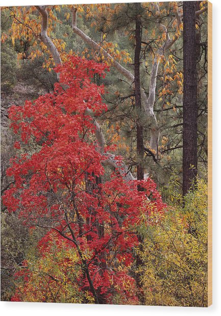 Maple Sycamore Pine Wood Print