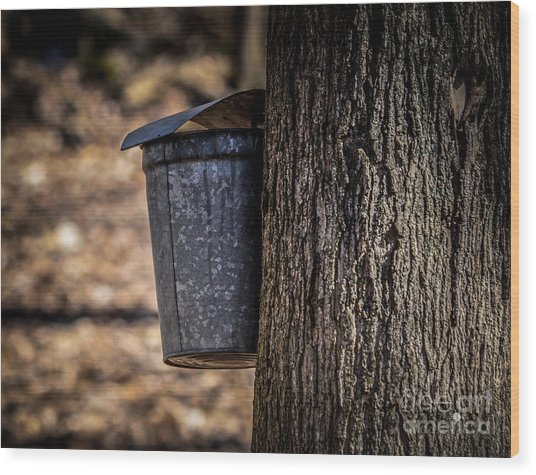 Maple Syrup Time Collecting Sap Wood Print