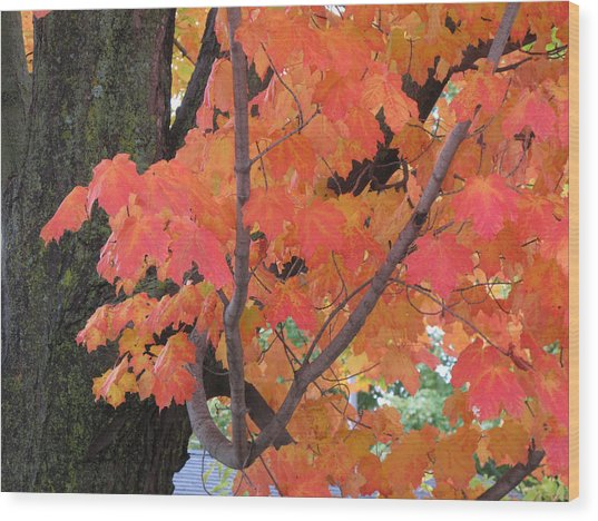 Maple Tree  Wood Print by Lyle Crump