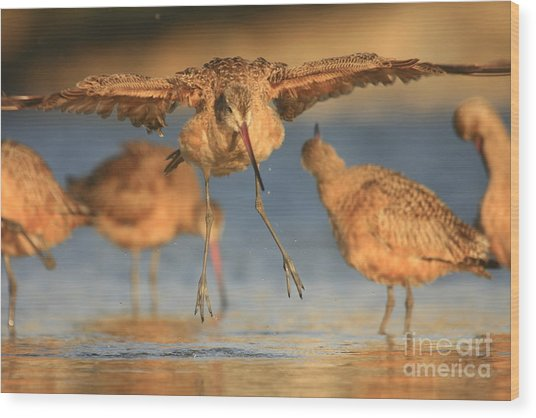 Marbled Godwit  Wood Print