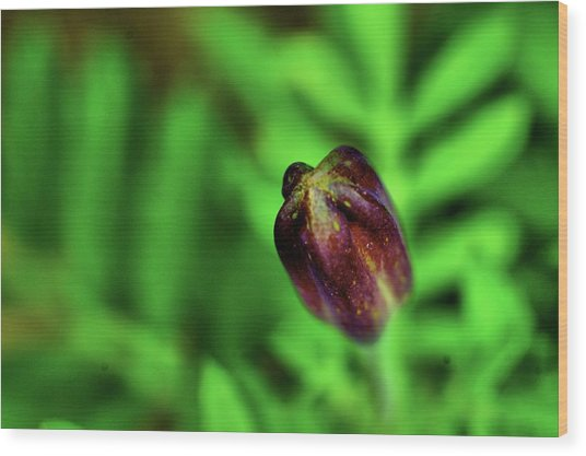 Marigold Bud Wood Print
