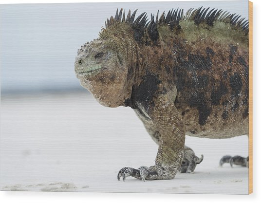 Marine Iguana Male Turtle Bay Santa Wood Print