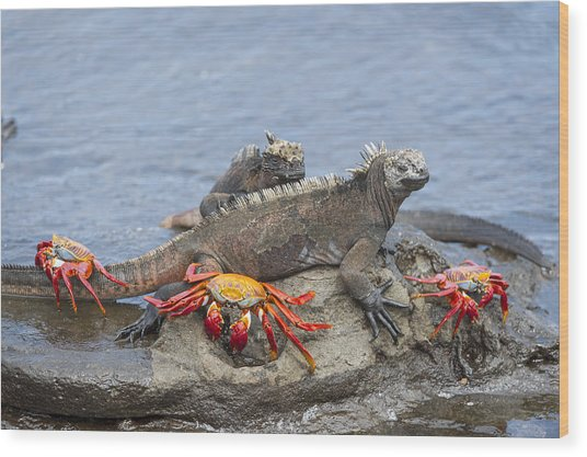 Marine Iguana Pair And Sally Lightfoot Wood Print