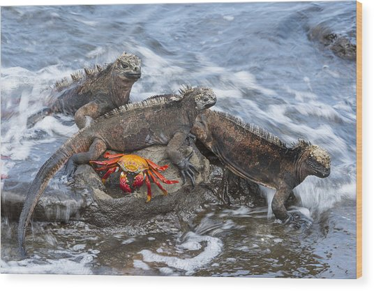 Marine Iguana Trio And Sally Lightfoot Wood Print