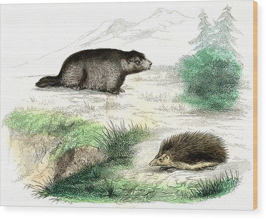 Marmot And Hedgehog Wood Print by Collection Abecasis