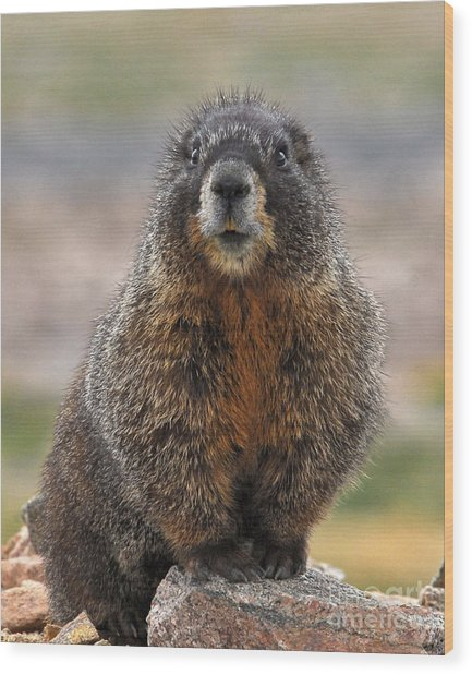 Wood Print featuring the photograph Marmot by Mae Wertz