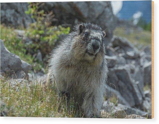 Marmot In Assiniboine Park, Canada Wood Print by Howie Garber