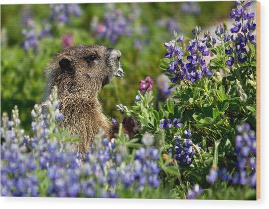 Marmot Mount Rainier National Park Wood Print