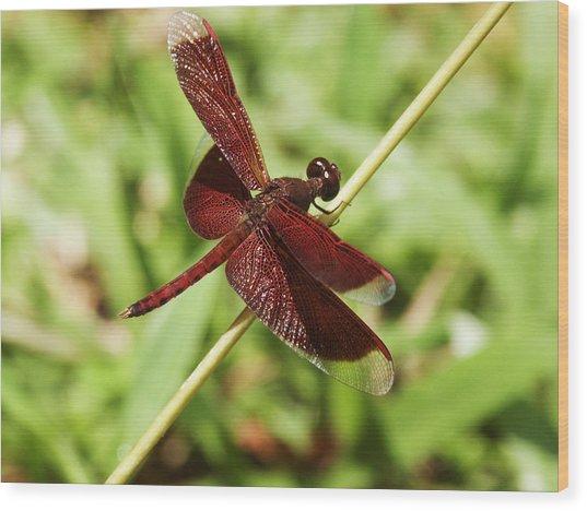 Maroon Dragonfly Wood Print