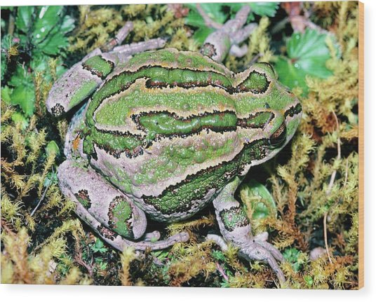 Marsupial Frog Wood Print by Dr Morley Read/science Photo Library