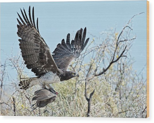 Martial Eagle In Flight With Prey Wood Print