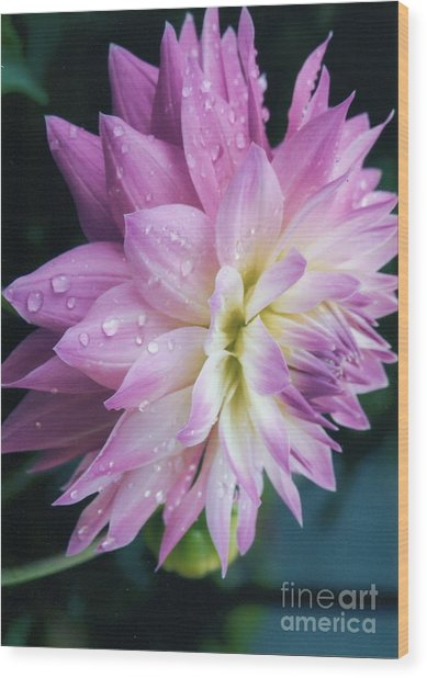 Mary Ellen's Morning Dew Dahlia Wood Print