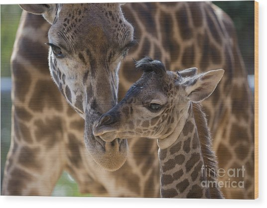 Masai Giraffe And Calf Wood Print