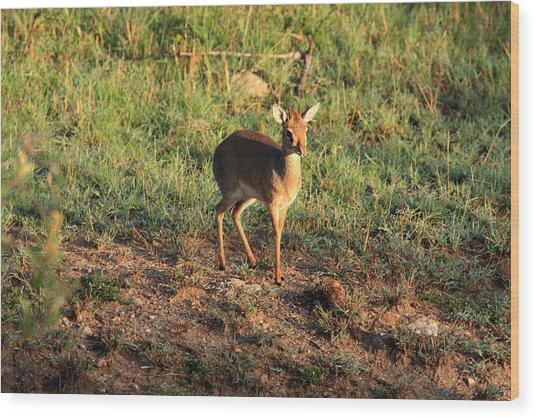Masai Mara Dikdik Deer Wood Print