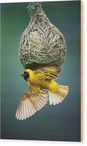 Masked Weaver At Nest Wood Print