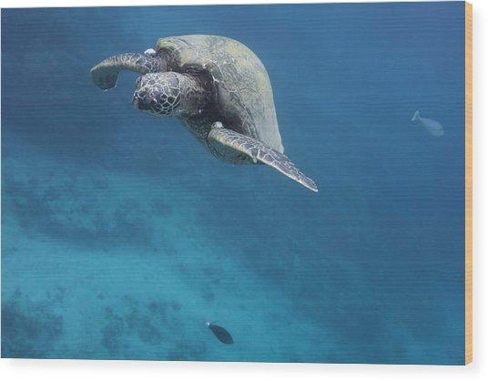 Maui Sea Turtle Approach Wood Print