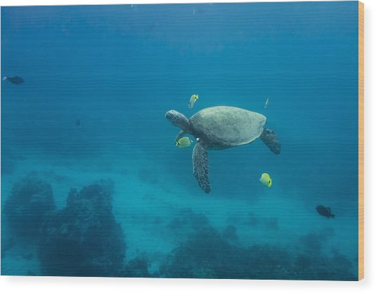 Maui Sea Turtle Cleaning Station Distant Wood Print