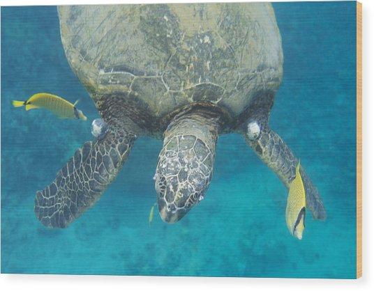 Maui Sea Turtle Gets Cleaned Wood Print