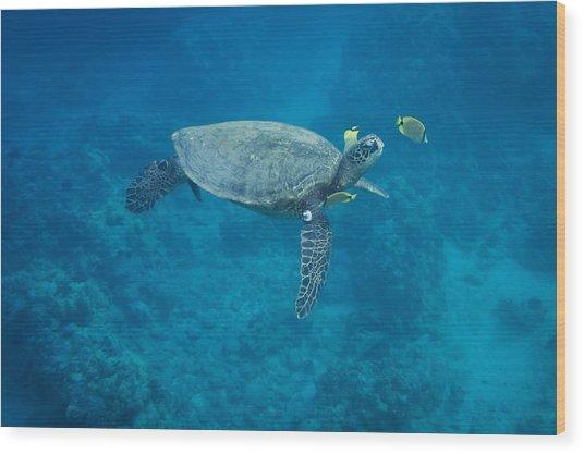 Maui Sea Turtle Head Up Cleaning Wood Print