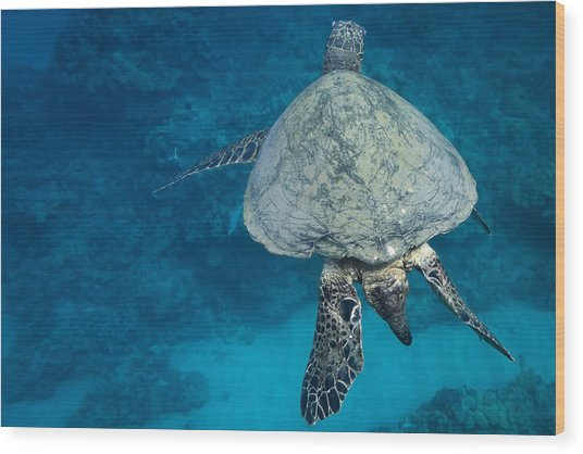 Maui Sea Turtle Passes By Wood Print