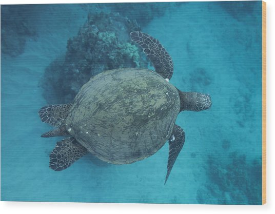 Maui Sea Turtles From Above Wood Print