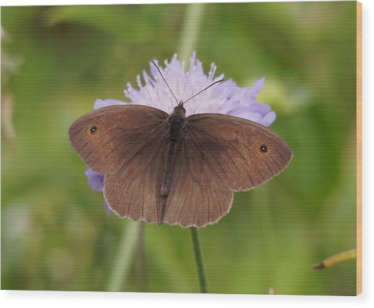 Meadow Brown Butterfly Wood Print
