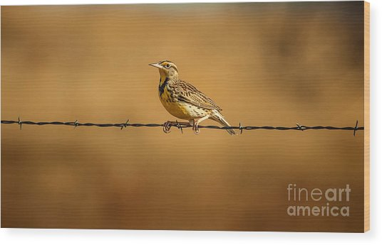 Meadowlark And Barbed Wire Wood Print