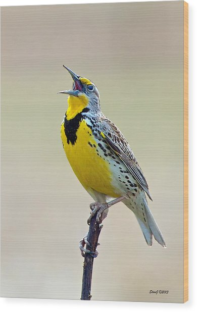 Meadowlark Singing Wood Print