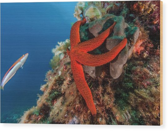 Mediterranean Red Sea Star On Reef Wood Print by Alexis Rosenfeld/science Photo Library