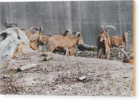 Meeting Of Barbary Sheep Wood Print