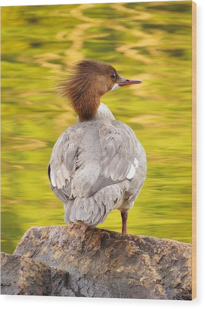 Merganser On Bubble Pond Wood Print by Acadia Photography