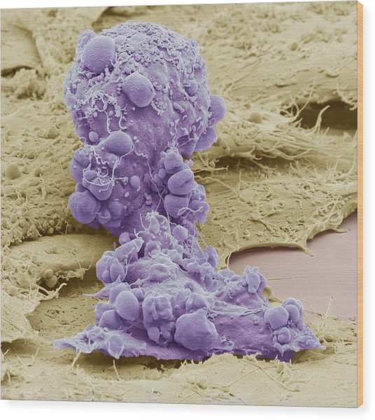 Mesenchymal Stem Cell, Sem Wood Print by Science Photo Library