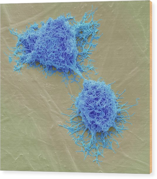 Mesenchymal Stem Cells Wood Print