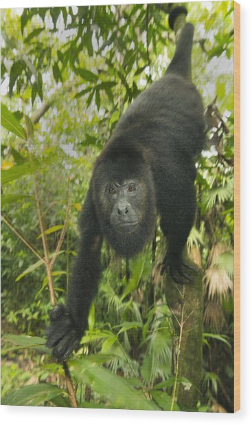 Mexican Black Howler Monkey Belize Wood Print