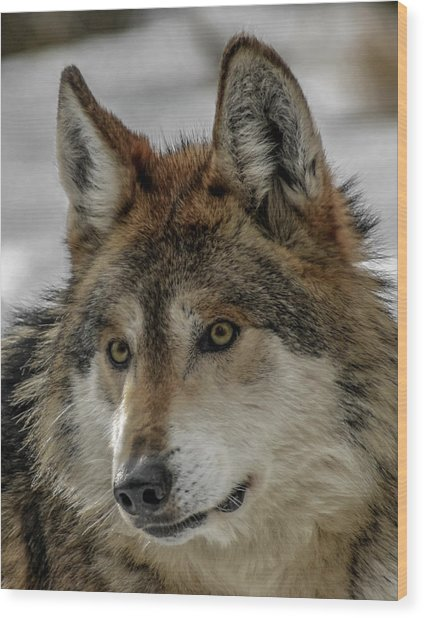 Mexican Grey Wolf Upclose Wood Print