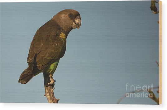 Meyer's Parrot Wood Print