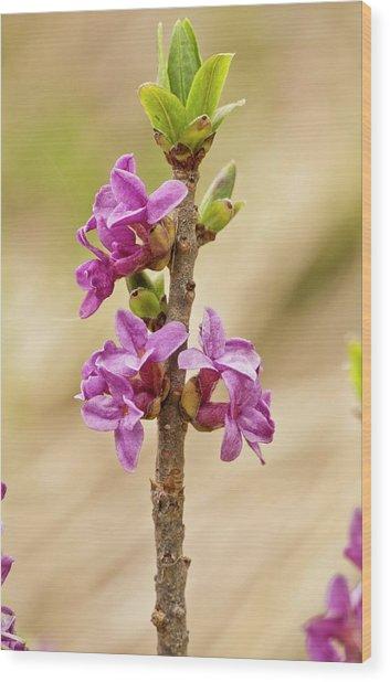 Mezereon (daphne Mezereum) In Flower Wood Print by Bob Gibbons