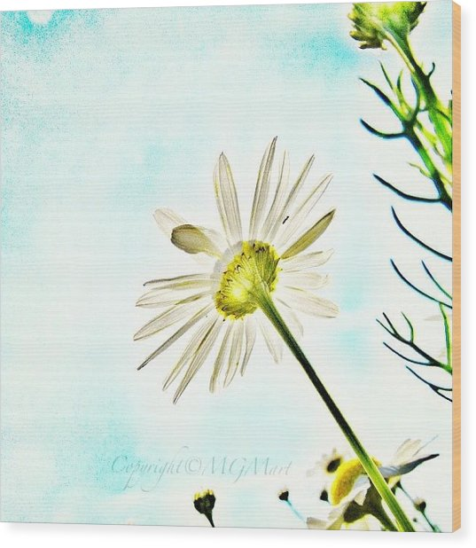 #mgmarts #daisy #flower #morning Wood Print