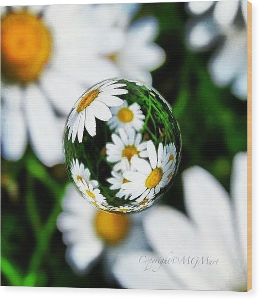 #mgmarts #daisy #flower #weed #summer Wood Print