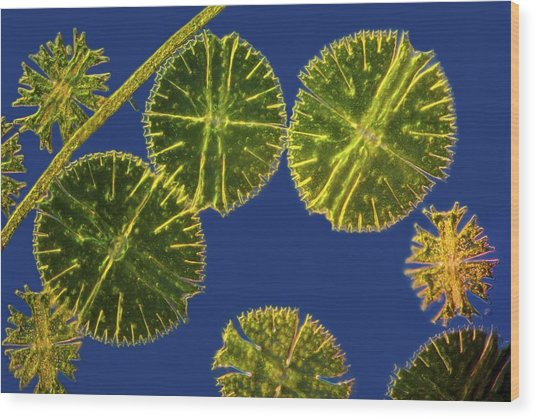 Micrasterias Desmids, Light Micrograph Wood Print by Science Photo Library
