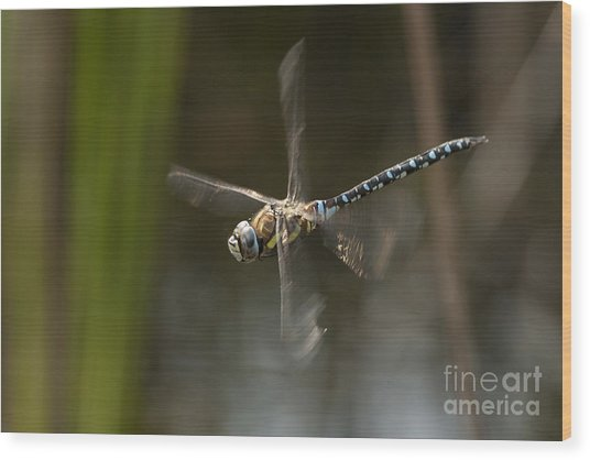 Migrant Hawker Dragonfly In Flight Wood Print