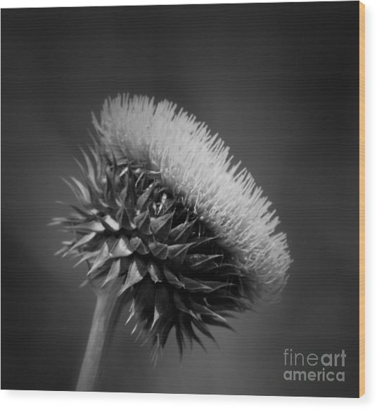 Milk Thistle Bw Wood Print